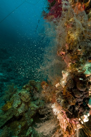 Coral reef and glassfish in the Red Sea photo