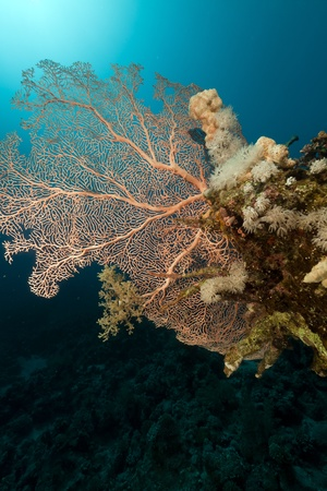 Fan coral and fish in the Red Sea photo