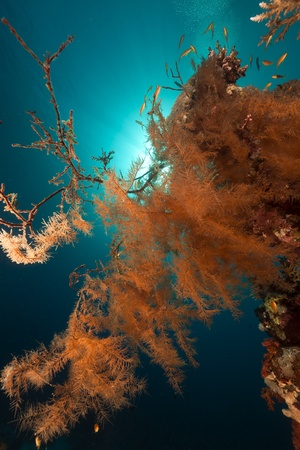 branching coral: Branching black coral in the Red Sea