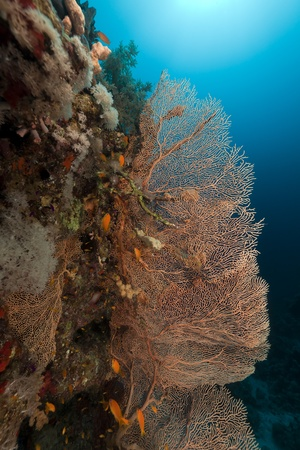 Sea fan and Anthias in the Red Sea Stock Photo - 12418232