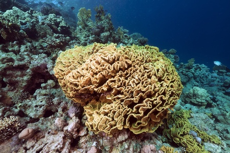 Leaf coral in the Red Sea photo