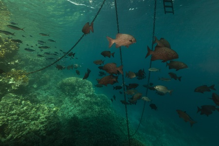 Fish under a floating pier in the Red Sea photo