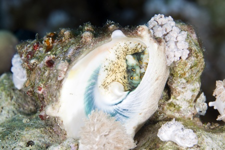 Bottom of a topshell in the Red Sea photo