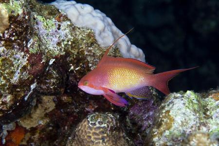 anthias fish: Lyretail anthias in the Red Sea