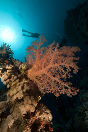 Triopical underwater world and diver in the Red Sea photo