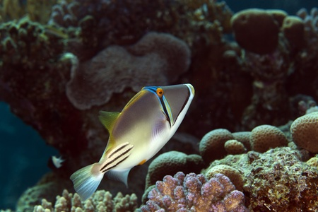triggerfish: trigger fish in the Red sea Stock Photo