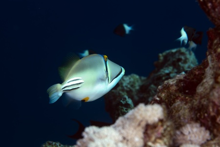 trigger fish: trigger fish in the Red sea Stock Photo