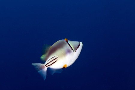 trigger fish in the Red sea Stock Photo - 12881178
