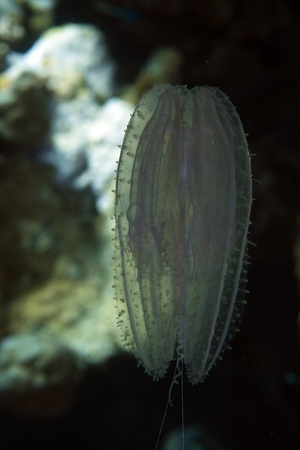 Siphonofore in the Red sea photo