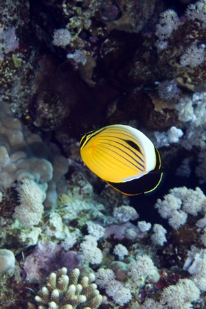 polyp: Polyp butterflyfish in the Red sea