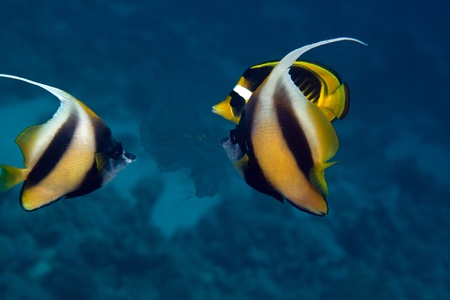 Bannerfish in the Red sea Stock Photo - 12881694
