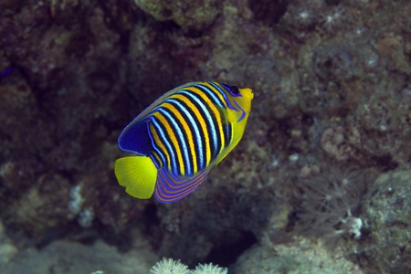 royal angelfish: Royal angelfish in the Red sea