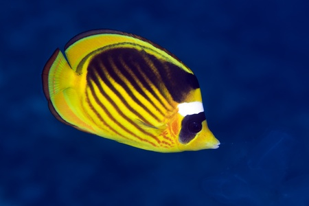 Striped butterflyfish in the Red sea photo