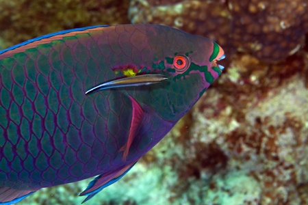 Parrotfish in de Red Sea photo