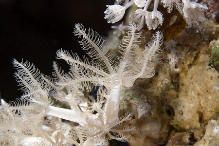 Soft coral in de Red Sea photo