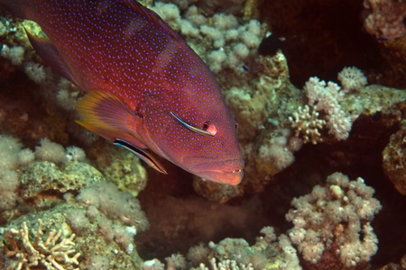 coralgrouper: Coralgrouper and cleaner wrasse in de Red Sea