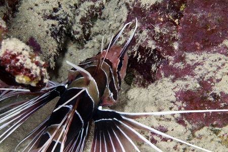 Lionfish in de Red Sea photo