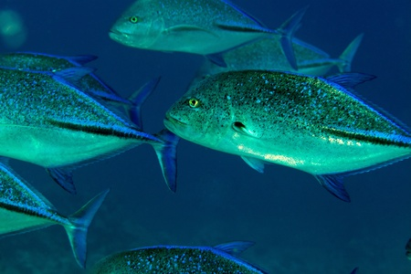 Bluefin trevally in the Red Sea photo