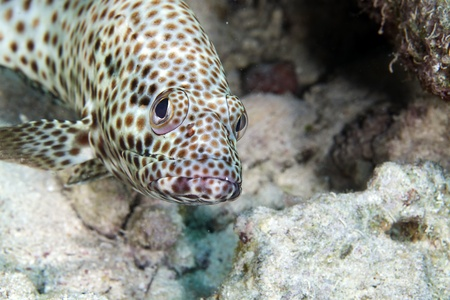 Greasy grouper in the Red Sea photo
