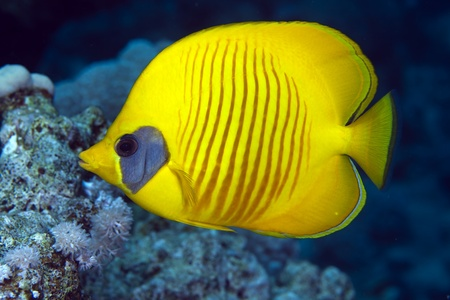 hardcoral: Masked butterflyfish in the Red Sea Stock Photo