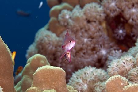 lyretail: Lyretail anthias in the Red Sea