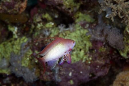 anthias: Lyretail anthias in the Red Sea