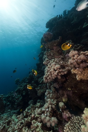 Butterflyfish in the Red Sea photo
