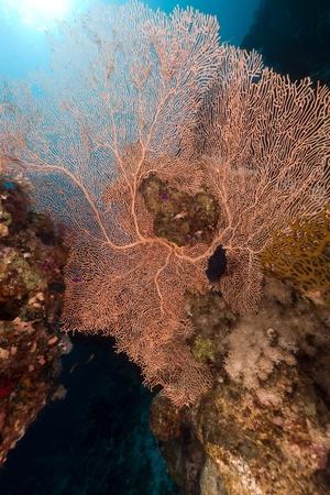sea fan: Sea fan in the Red Sea