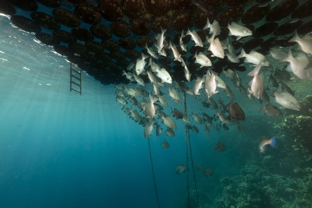 Fish gathering under a floating jetty in the Red Sea. photo
