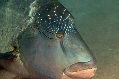 napoleon fish: Close-up of a napoleon wrasse in the Red Sea. Stock Photo