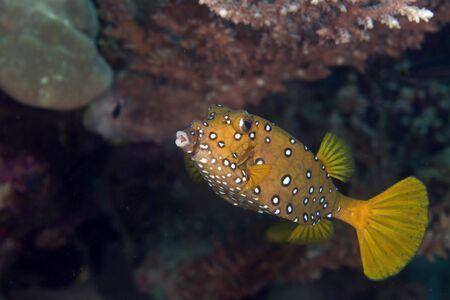 boxfish: Yellow boxfish fem. in the Red Sea.