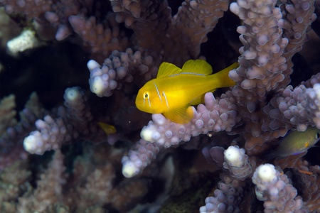 Citron coral goby in the Red Sea. Stock Photo - 12881646