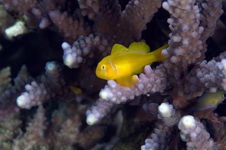 goby: Corallo goby Citron nel Mar Rosso. Archivio Fotografico