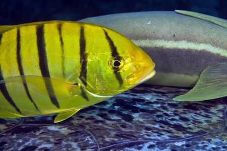 Juvenile golden trevally. Stock Photo - 12881324