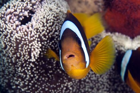 softcoral: Anemonefish in a Haddons anemone