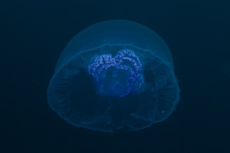 Moon jellyfish in the Red Sea photo