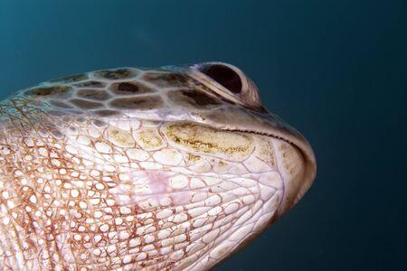 chelonia: Green turtle (Chelonia mydas)  close-up.