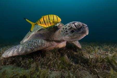tortue verte: La tortue verte et la carangue dans la mer Rouge