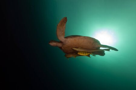 tortue verte: La tortue verte dans la mer Rouge Banque d'images