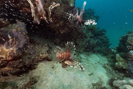 Lionfish hunting  in the Red Sea photo
