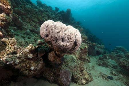 brain coral: Brain coral in the Red Sea Stock Photo