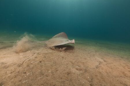 Darkspotted stingray in the Red Sea photo
