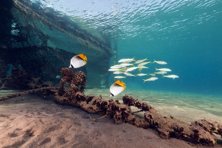 Threadfin butterflyfish in the Red Sea photo