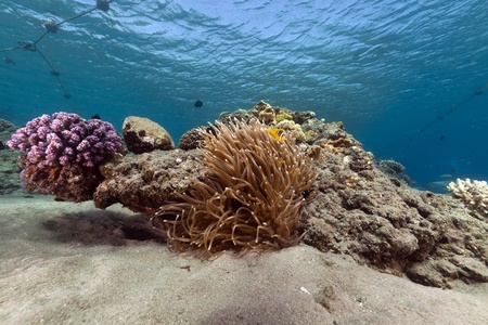 Anemone and tropical reef in the Red Sea Banque d'images