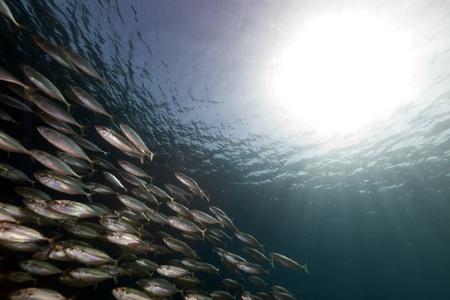Striped mackerel in the Red Sea