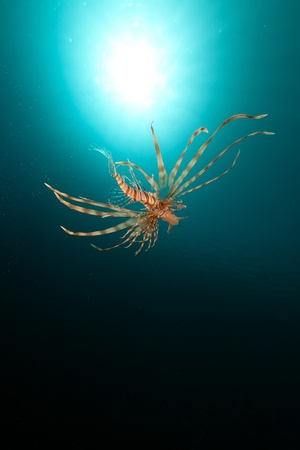 Lionfish and tropical reef in the Red Sea photo