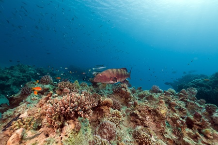Coral grouper and tropical reef in the Red Sea. photo