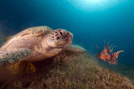 Green turtle and buddy Lionfish in the Red Sea. photo