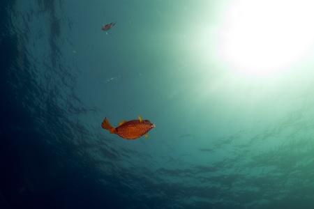 boxfish: Boxfish,ocean and sun in the Red Sea.