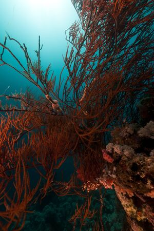 Branching black coral in the Red Sea Stock Photo - 13546780